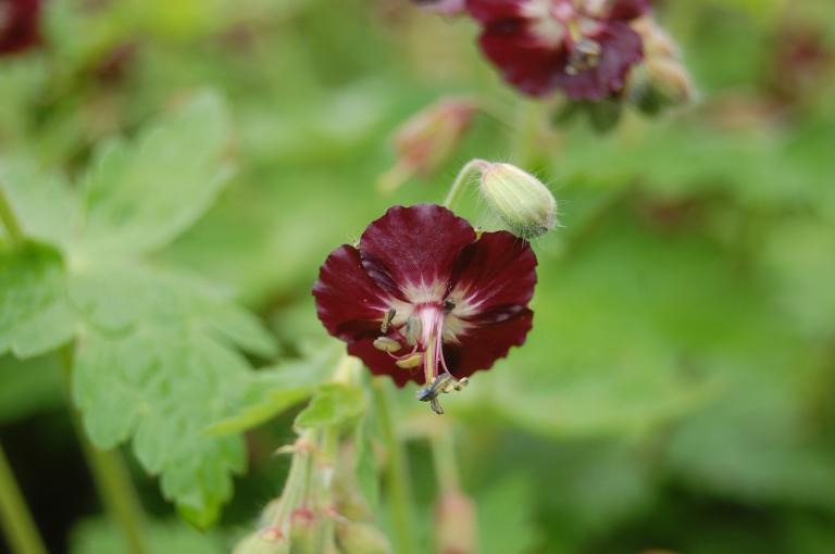 geranium-phaeum-flower