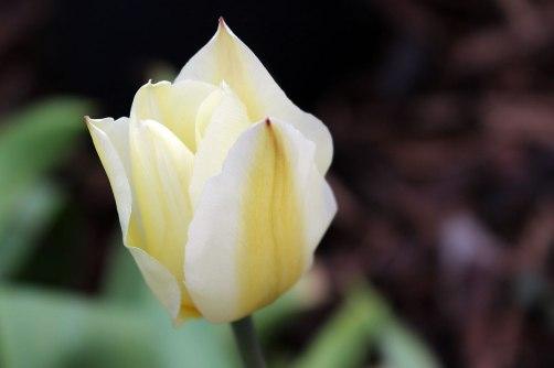 Tulipa Purissima 'design'